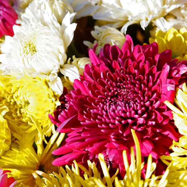 Купить хризантемы
